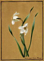 Ф.П. ТОЛСТОЙ. Нарциссы. 1817