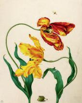 М.С. МЕРИАН. Рисунок тюльпанов и личинки крыжовникового пилильщика. 1705